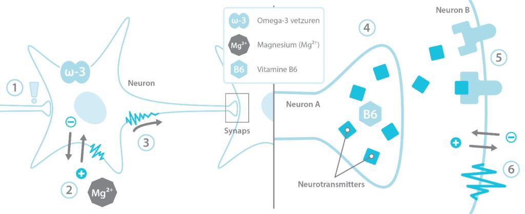 hoe-hersencellen-werken